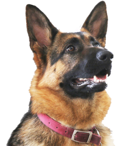about us german shepherd dog training